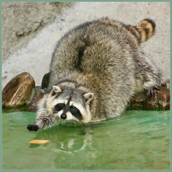 Общая флудильня - Страница 3 1365978817_raccoons-10
