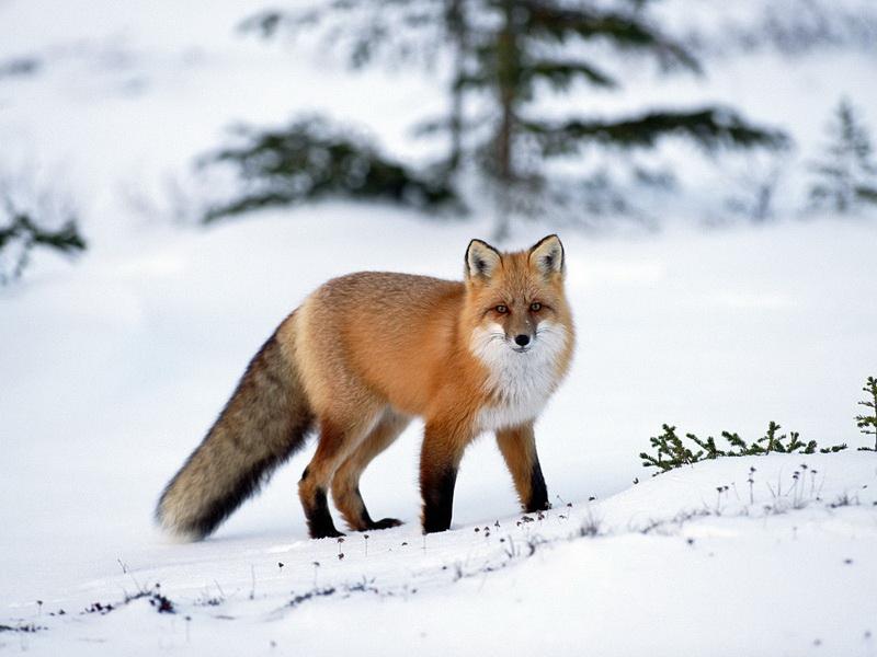 Картинки рыжие лисы - e