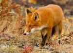 Мех рыжей лисы
