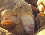 Овчина (мутон)